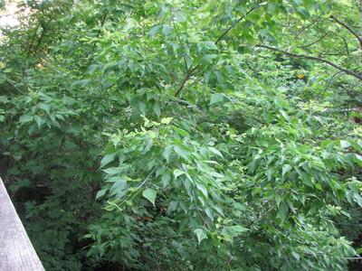 20060707_woods_poisonivy_130.JPG