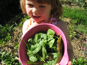 20090519_first spinach harvest_6.JPG